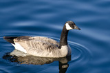 Canada Goose Swimming in Blue Water