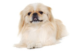 Pekingese dog isolated on a white background