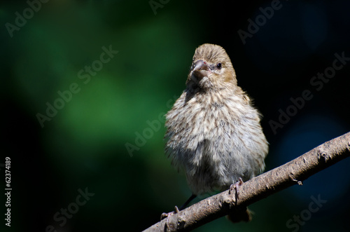 Young House Finch Perched on a Branch