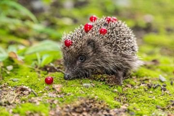 Wild Hedgehog is looking for a food