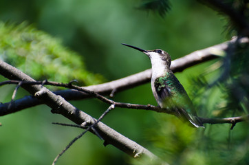 Hummingbird Looking for Trouble