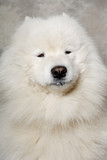 Face of samoyed dog
