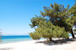 Pine tree on a beach at the luxury hotel, Thassos island, Greece