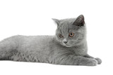 cat breed Scottish Straight on a white background closeup