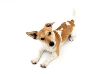 Jack Russell Terrier macht Platz