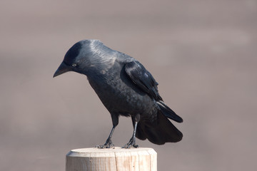 Jackdaw on a post