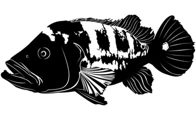 aquarium fish Cichla ocellaris