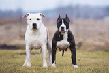 two american staffordshire terrier dogs