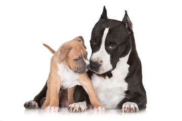 staffordshire terrier puppy with mother