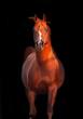 galoping chestnut arabian stallion isolated at black