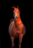 galoping chestnut arabian stallion isolated at black