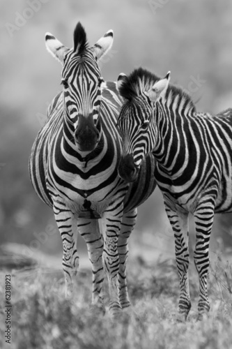 Zebra mare and foal standing close together in bush for safety a - 62381923
