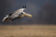 Adult white-tailed eagle in flight