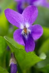 Veilchen im Wald / Violet in the forest
