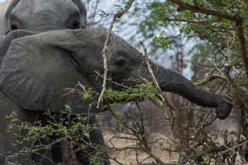 Elefanten , Chobe Park Botswana