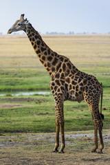 Giraffe im Chobe Park, Botswana