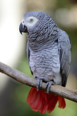 Portrait of a Grey Parrot