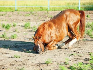sorrel  arabian  horsenin paddock