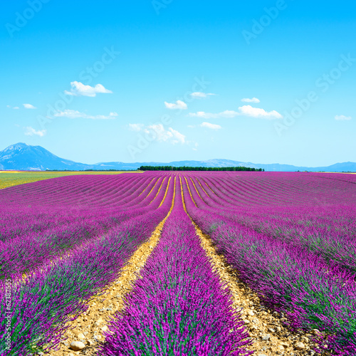 Lavender flower blooming fields endless rows. Valensole provence - 62387555