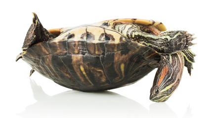 turtle on the shell, isolated on white background