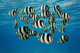 Shoal of tropical fish Banded butterflyfish