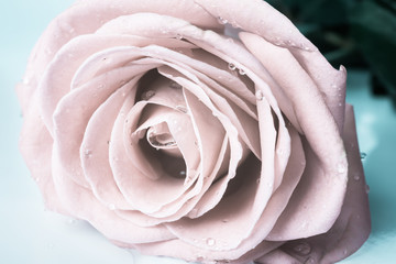 Pastel gentle toned roses with drops, closeup