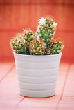 Flowering prickly cactus in a white flower pot