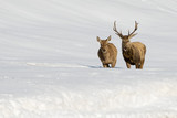 Deer on the snow backgrond