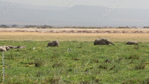 African elephants in marshland, Amboseli National Park
