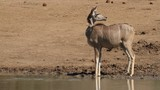 Alert kudu antelope at a waterhole, Pilanesberg National Park