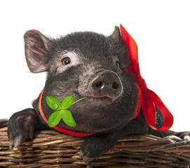 a cute little black pig sitting in a basket - white background