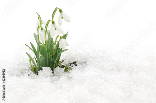 Fotobehang Lente Snowdrops and Snow