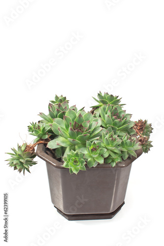Houseleek plant (sempervivum) in pot  isolated on white