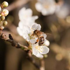 Eifrige Biene