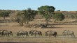 Blue wildebeest walking in a row, Kalahari desert