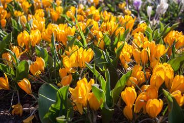 Flowers in Keukenhof park, Netherlands, also known as the Garden