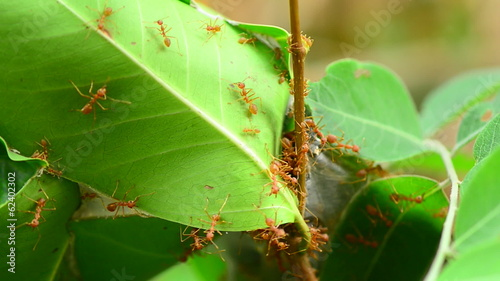 Red ants nest on the tree