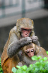 Monkey delousing his baby