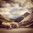 pecore in montagna