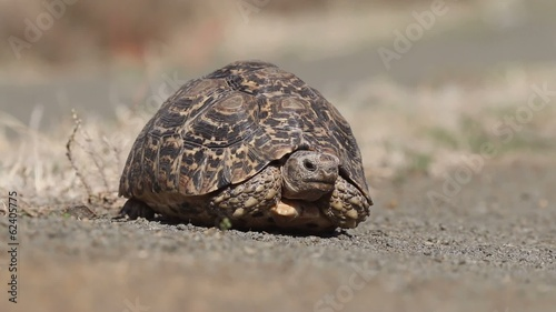 Close-up of a leopard tortoise
