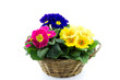 reed basket with multicolor primroses