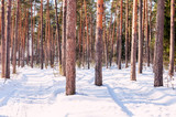 landscape of the winter pine forest