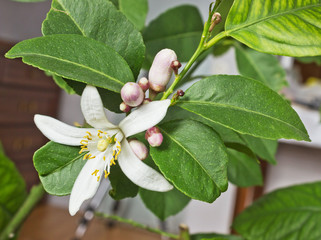 Blossoming lemon tree home form