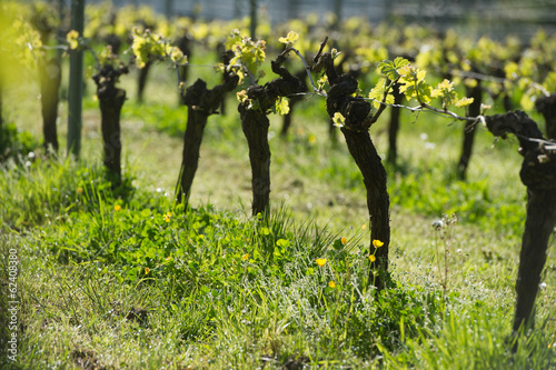 Vine in the sun