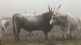Hungarian gray cows in winter