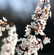 flowers of a beautiful blossoming cherry tree in spring