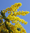 beautiful yellow mimosa in bloom and the blue sky
