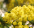 yellow mimosa in bloom and the background all yellow
