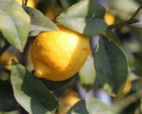 One lemon from Sicily hanging from a tree in the orchard
