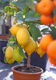 lemons from Sicily and Ripe orange tangerines